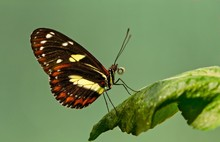 Atthis Longwing - Heliconius A...