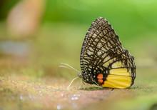 Beautiful Jezebel Palmfly Butt...