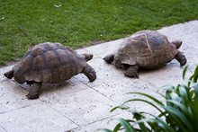 Two Tortoises Walking In A Line