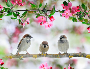 Fototapeta Drzewa three cute little birds sparrows sit on an Apple tree branch with pink flowers and buds in a may Sunny garden