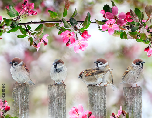 Obraz cute little birds sparrows sitting on wooden fence under blooming pink Apple tree branch in may garden on Sunny day - fototapety do salonu