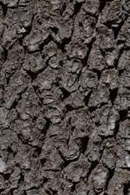 Close Up Of Oak Tree Bark Texture