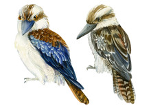Tropical Kookaburra Birds, Kin...