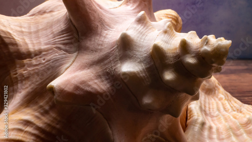 Photo Conch Seashell Macro Closeup