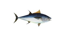 3D Rendering Of A Tuna Fish Blue Ocean Creature Animal Isolated