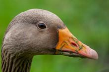Greylag Goose Head Shots For C...