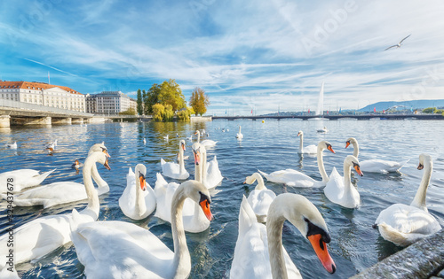 Geneva, Switzerland. Classical view of lake Geneva with waterfowl white swans by quay, famous fountain in background - the symbols of Geneva. Beautiful romantic scenery of Swiss city.