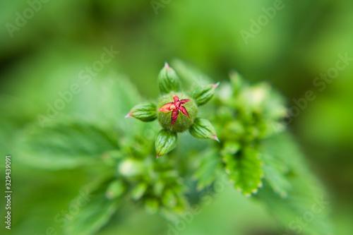 Fényképezés Potentilla 'Hamlet' -  red blooming plant in the garden.