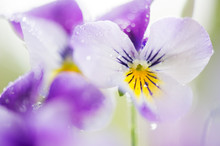 Raindrops On Horned Pansy (Vio...