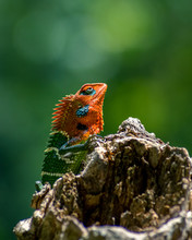 Colorful Lizard Isolated