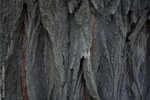 Texture dark acacia old bark Canvas Print