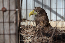 An Eagle Behind Bars Sits In A Cage