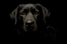 Portrait Of A Lovely Labrador ...