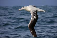 Southern Royal Albatross Flyin...
