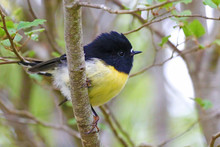 Tomtit, Endemic New Zealand Bird