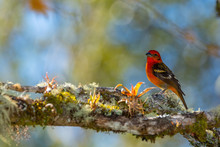 Flame Colored Tanager Male Res...