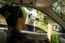 Woman Feeds Llama Through The ...