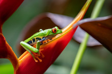 Red-eyed Tree Frog In Costa Ri...