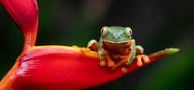 Splendid Leaf Tree Frog In Cos...