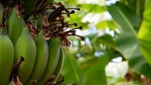 A Bunch Of Organic Green Banan...