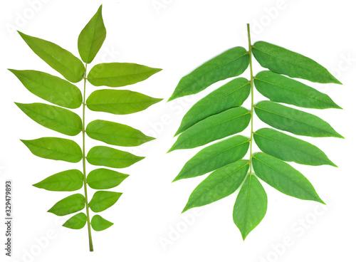 Averrhoa bilimbi leaves or daun belimbing wuluh, isolated on white background Wallpaper Mural