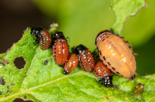 Colorado Beetles Eat Potato Le...