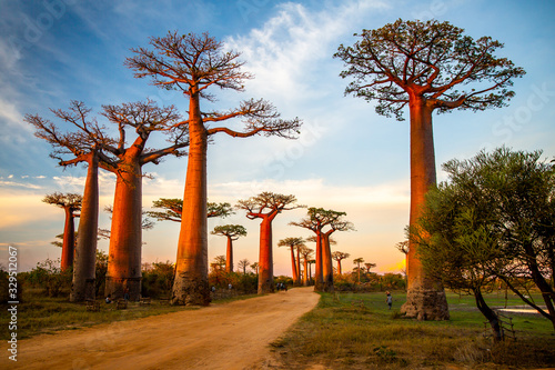 Fototapeta Beautiful Baobab trees at sunset at the avenue of the baobabs in Madagascar