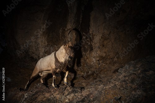 Wild bezoar goat in the nature habitat Wallpaper Mural