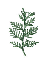 Hand Drawn Colorful Cedar Branch