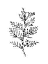 Hand Drawn Black And White Cedar Branch