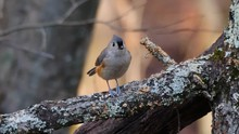 Closeup Of Tufted Titmouse Bir...