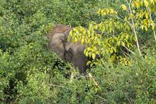 Single Wild Asian Elephant Hid...