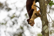 A Single Indian Giant Squirrel, Climbing Down A Tree