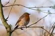 European Robin, Erithacus rubecula in a natural woodland habitat.