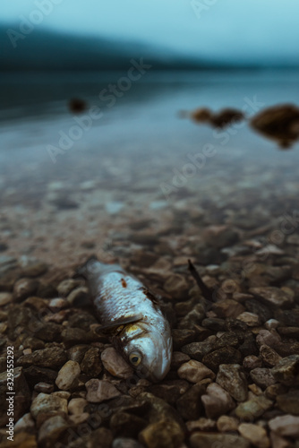 fototapeta na drzwi i meble Dead fish on the lakeshore in misty morning