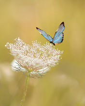 Exotic Blue Butterfly Resting On A Delicate Flower, Isolated Against A Bright Bokeh Background.