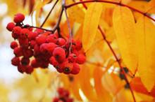 Red Berries Of Sorbus On A Bra...