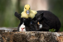 Funny Duckling Sitting On Top ...