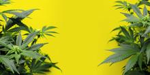 Yellow Background With Marijua...
