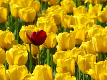 Yellow Tulips, One Red Among Them - One In A Dozen, Unique
