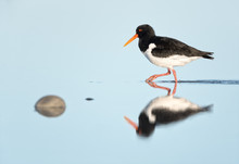 Calm Mirroring Of Eurasian Oystercatcher During His Searching For Food, Helgoland.