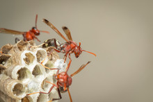 Image Of Common Paper Wasp / Ropalidia Fasciata And Wasp Nest On Nature Background. Insect. Animal