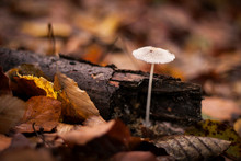 Beautiful White Mushroom Growing On An Autumn Forest