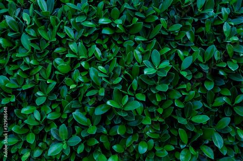Papier Peint - closeup nature view of green leaf texture, dark wallpaper concept, nature background, tropical leaf