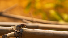 Cicada Hanging On A Wooden Pole.