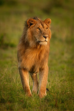 Male Lion Stands Looking Around In Savannah
