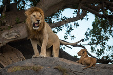 Male Lion Stands On Rock By Cub