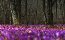 Spring Blooming Crocuses In A ...