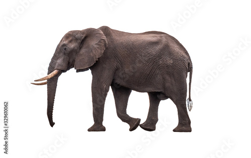 Photo Side view African Elephant walking ,  isolated.
