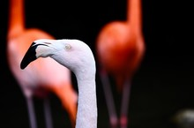 Portrait Of A White Flamingo